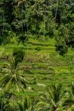 Lush green terraced farmland in Bali Stock Photography