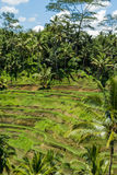 Lush green terraced farmland in Bali Stock Photo