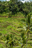 Lush green terraced farmland in Bali Stock Photography