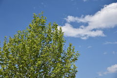 Lush Green Tree with Blue Sky in background. Lush  Green Tree with Blue Sky in background Stock Photos