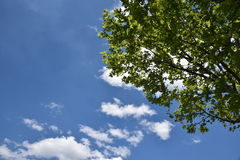 Lush Green Tree with Blue Sky in background. Lush  Green Tree with Blue Sky in background Royalty Free Stock Photo
