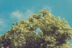 Lush green tree with leaves on blue sky background in retro colors Stock Photo