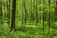 Lush green trees. Lush green maple trees in forest in spring time stock photography