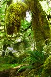 US National Parks, Olympic National Park, Washington. Lush green trees in rainforest in Olympic National Park, Washington. U.S. National Parks stock photography