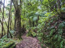 Lush green tropical vegetaion ivy, moss and ferns on footpath at hiking trail in forest near furnas on Sao Miguel island. Azores royalty free stock image