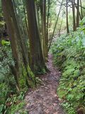 Lush green tropical vegetaion ivy, moss and ferns on footpath at hiking trail in forest near furnas on Sao Miguel island. Azores royalty free stock images