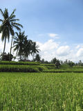 Lush green ubud rice fields bali Royalty Free Stock Photos