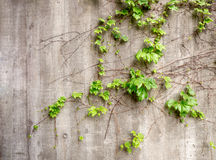 Lush green vines growing on side of weathered old concrete wall Royalty Free Stock Image