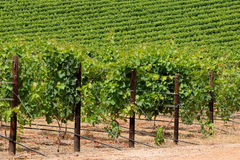 Lush green vineyard. Landscape of a lush green vineyard, Cape Town area, South Africa Royalty Free Stock Image