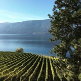 Lush green vineyards by lake Royalty Free Stock Photo