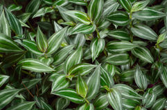 Lush green Wandering Jew plant Royalty Free Stock Images