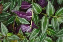 Lush green Wandering Jew plant Royalty Free Stock Image