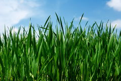 Lush green wheat leaves stock images