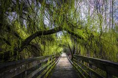 Lush Green Tree Covered Boardwalk Royalty Free Stock Images