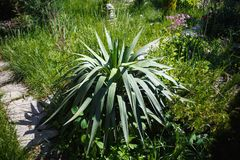 Lush green Yucca Stock Images