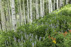 Lush Hillside of Aspens and Lupine Stock Photo