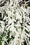 Lush inflorescence of a bush white Spirea. On a green background Royalty Free Stock Photos