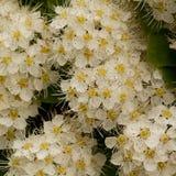 Small white flowers of spiraea. Lush inflorescence of spiraea with small white flowers Stock Photography