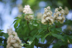 Lush inflorescences of a chestnut tree Stock Image