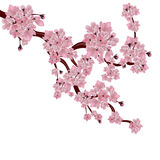 Lush Japanese cherry tree. The branch of pink sakura blossom. Isolated on white background. Vector illustration royalty free illustration
