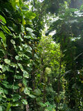 Lush jungle like vegetation Maui Hawaii Stock Photography