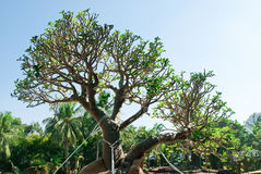 Lush large succulent royalty free stock photos
