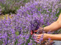 Lush lavender Bush. Girl`s hands with a bouquet of purple fragrant flowers in her hands, creates royalty free stock image