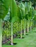 Lush leafage of banana palm trees Royalty Free Stock Photos