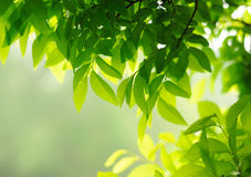 Lush leave. Youthful green lush leave background Stock Photography