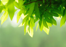 Lush leave. Youthful green lush leave background Stock Images