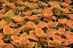 Lush leaves in Coleus plants, a favorite ground cover for gardeners everywhere Stock Photos