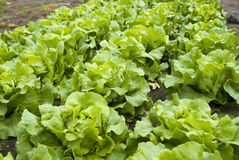 Lush Lettuce Plants in a Community Garden Royalty Free Stock Photo