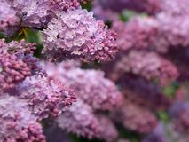 Lush lilac bush Royalty Free Stock Image