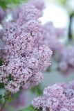 Lush lilac bush. In the garden Royalty Free Stock Images