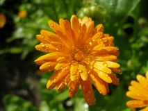 Lush Marigold with droplets. Close-up of lush orange Marigold flower with droplets in sunny Stock Photo