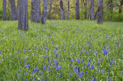 Lush meadow of blue camas wildflowers with oak trees in background Stock Image