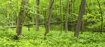 Lush midwest forest in spring. Royalty Free Stock Photos