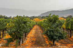 Lush Napa Valley vineyard row in autumn colors with fog Stock Image
