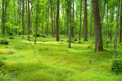 Lush Northwoods Forest Royalty Free Stock Photos