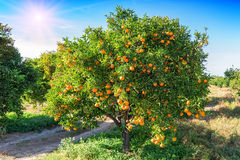 Lush orange tree. With juicy fruits in the garden under sunlight Royalty Free Stock Photos