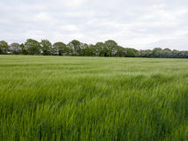 Lush over top field of crop and grass outside in field Royalty Free Stock Image