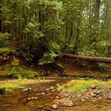Lush Pacific Temperate Forest Stock Image