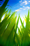 Lush paddy field of Bali early in the morning Royalty Free Stock Image