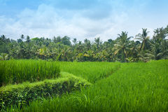 lush paddy field of Bali early in the morning with blues sky Royalty Free Stock Photo