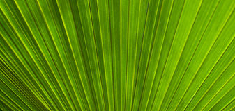 Lush palm leaf Stock Images