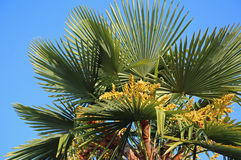 Lush palm tree with dates in the tropical country Stock Images