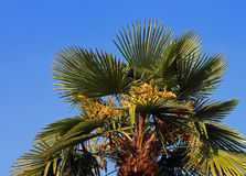 Lush palm tree with dates in the tropical country in summer Stock Image