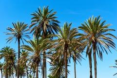 Lush palm trees Royalty Free Stock Image
