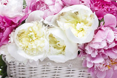 Lush peonies in white basket Royalty Free Stock Photos