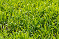 Lush. Photo lush green lawn in sunlight Royalty Free Stock Photography